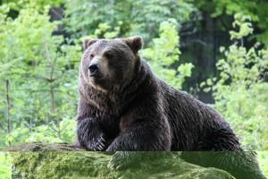 Braunbär Tierfreigelände Nationalpark Bayerischer Wald