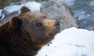 Tierfreigelände Braunbär Winter Bayerischer Wald