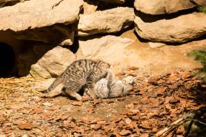 Wildkatzen Nationalpark Bayerischer Wald