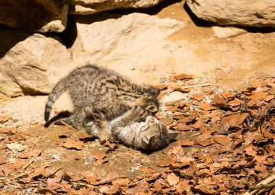 Nachwuchs Wildkatzen Nationalpark Bayerischer Wald