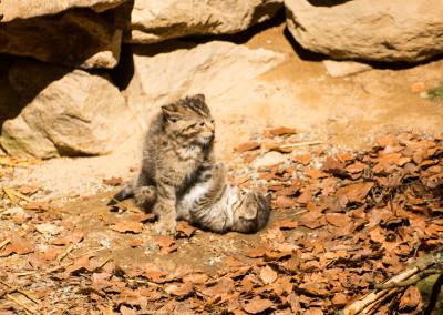 Junge Wildkatzen Nationalpark Bayerischer Wald
