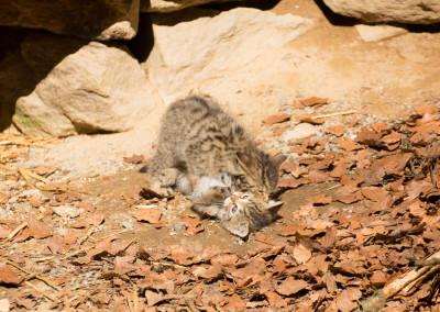 Spielende Wildkatzen Bayerischer Wald