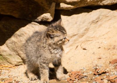 Nachwuchs bei den Wildkatzen Bayerischer Wald