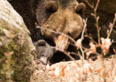 Braunbären Nationalpark Bayerischer Wald