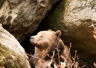 Braunbär Nationalpark Bayerischer Wald