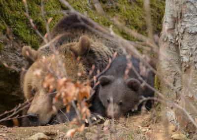 Braunbärenbabys Bayerischer Wald