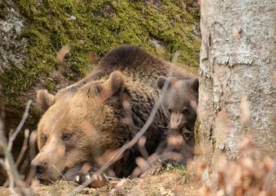 Braunbärenbabys Nationalpark Bayerischer Wald