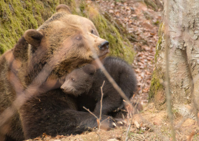 Nationalpark Bayerischer Wald Tierfreigelände Braunbären