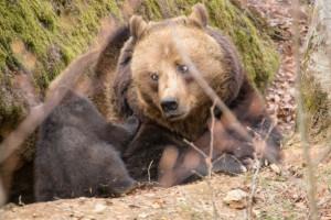 Bayerischer Wald Braunbären Nachwuchs