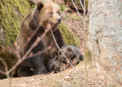 Braunbären Babys Bayerischer Wald