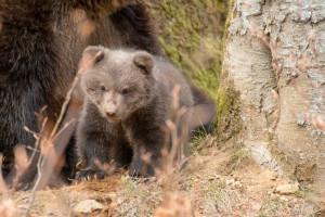 Bärennachwuchs Bayerischer Wald