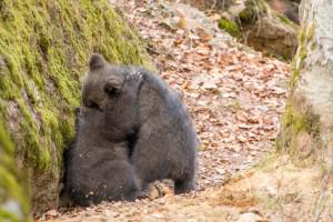 Nationalpark Bayerischer Wald Tierfreigelände Bärennachwuchs