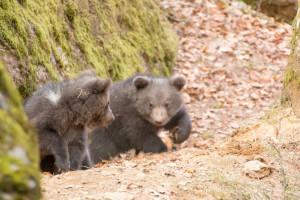 Bärenbabys Nachwuchs Nationalpark Bayerischer Wald