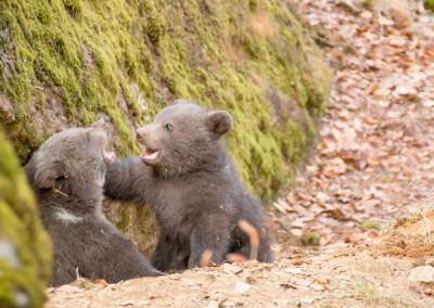 Braunbären Baby Nationalpark Bayerischer Wald