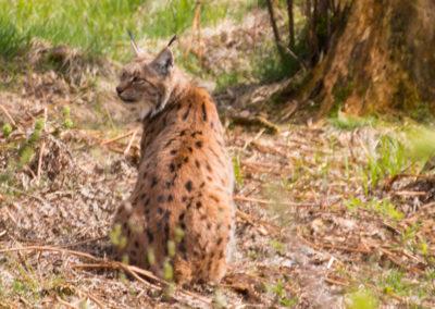 Luchs Tierfreigelände Nationalpark Bayerischer Wald