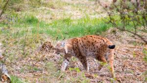 Luchs Nationalpark Bayerischer Wald Tierfreigelände