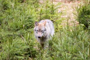 Wolf Nationalparkzentrum Falkenstein Bayerischer Wald