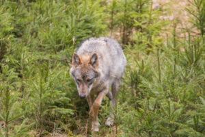 Wolf im Nationalpark Bayerischer Wald