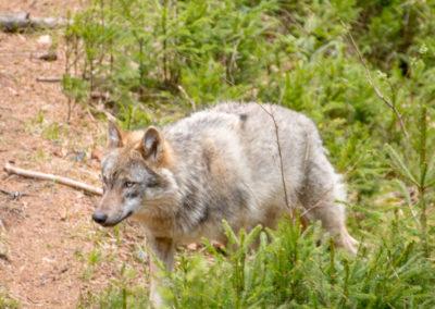 Wolf Tierfreigelände Nationalpark Bayerischer Wald