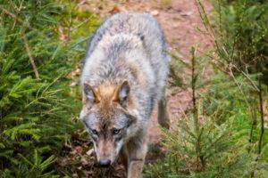 Wolf Nationalpark Bayerischer Wald