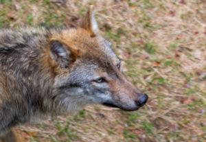 Tierfregelände Wolf Nationalpark Bayerischer Wald