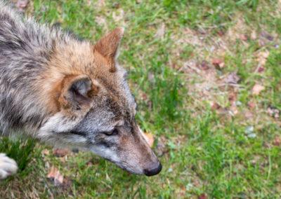 Nationalparkzentrum Falkenstein Wolf Bayerischer Wald