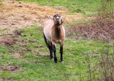 Wildpferd Tierfreigelände Nationalpark Bayerischer Wald