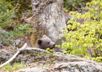Bärenbaby Nationalpark Bayerischer Wald