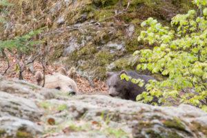 Bären Nationalpark Bayerischer Wald