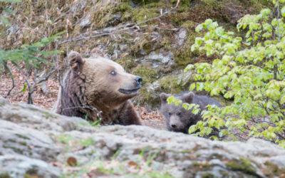 Kleine Eindrücke vom Bärennachwuchs