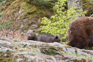 Nationalpark Bayerischer Wald Bärenbabys