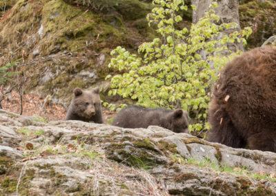 Bärenbabys Nationalpark Bayerischer Wald