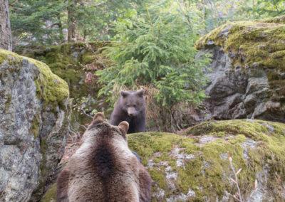 Bären Baby Nationalpark Bayerischer Wald