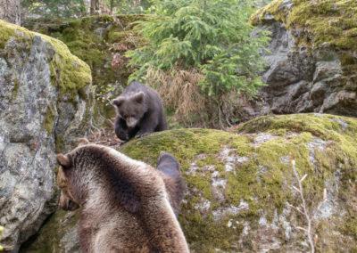 Braunbär Nationalpark Bayerischer Wald Nachwuchs
