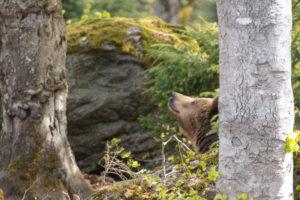 Braunbär Bayerischer Wald