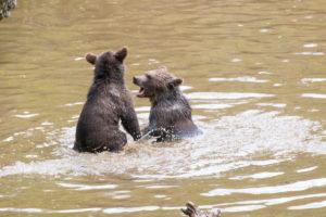 Spielende Braunbären im Bayerwald