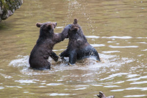 Braunbären Babys Tierfreigelände Bayerischer Wald