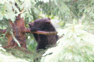 Braunbärenbaby im Bayerischen Wald