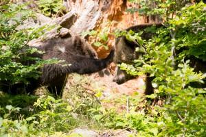 Braunbären Bayerischer Wald