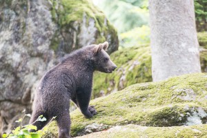 Braunbären Nachwuchs Bayerischer Wald