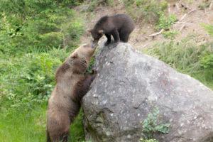Braunbärenbaby und Mama Bär im Bayerischen Wald