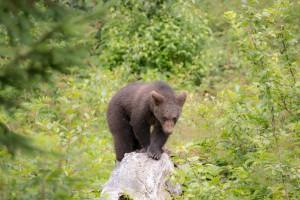 Baby Braunbär Bayerischer Wald