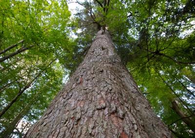 Baumriese im Nationalpark Bayerischer Wald