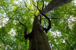 Baumriese Hans Watzlik Hain Nationalpark Bayerischer Wald