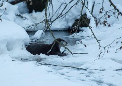 Fischotter im Tierfreigelände Bayerischer Wald Winter