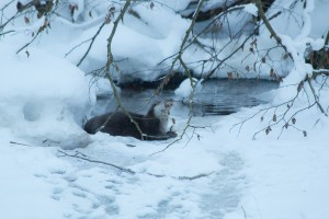 Fischotter Winter Bayerischer Wald