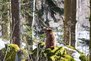 Luchs Nationalpark Bayerischer Wald