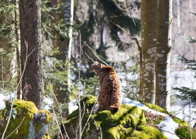 Luchs Bayerischer Wald
