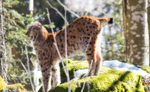 Luchs Bayerischer Wald Nationalpark