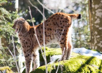 Luchs im Nationalpark Bayerischer Wald